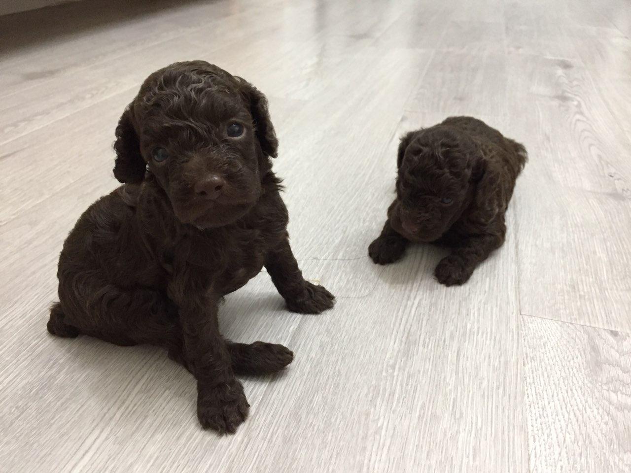 两只纯巧克力色泰迪宝宝出售