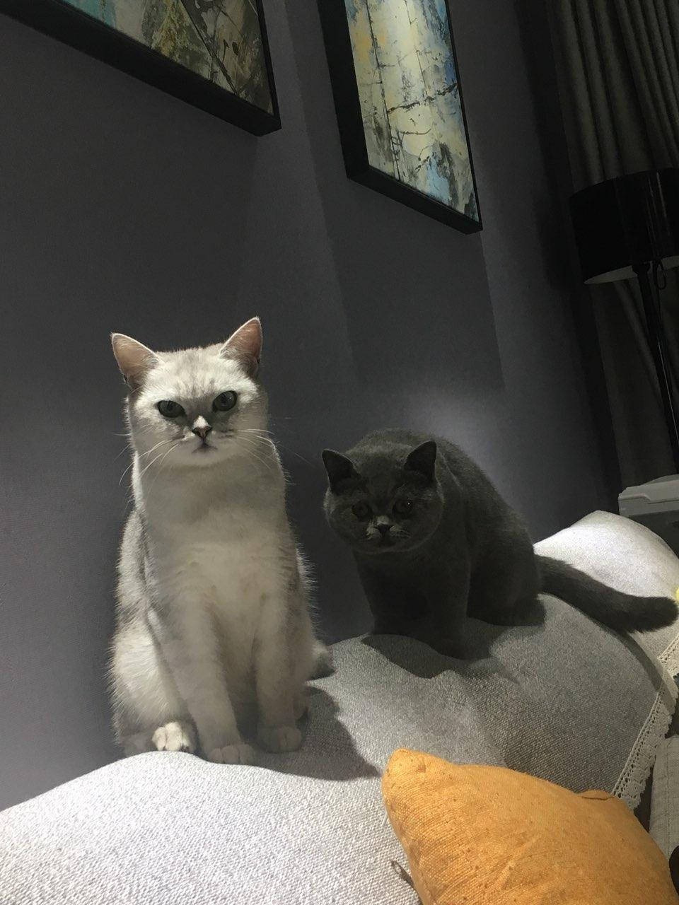 家养英短银渐层生宝宝啦,接受预定,可上门选猫!