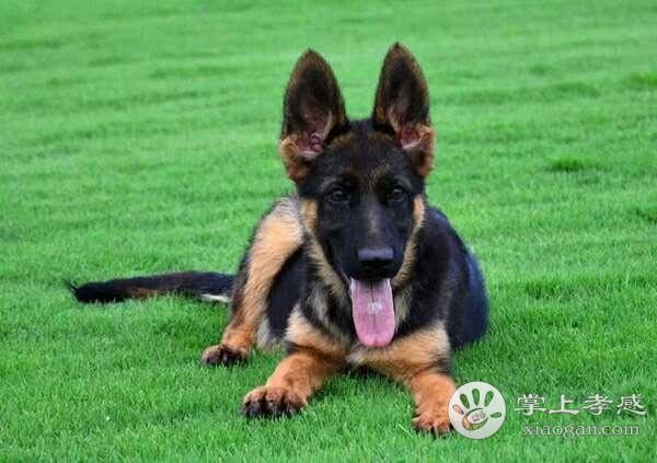 高品质德国牧羊犬