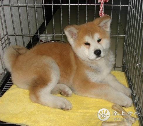 健康日本柴犬赤红色铁包金柴犬