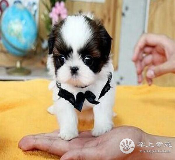 3个月大西施犬出售