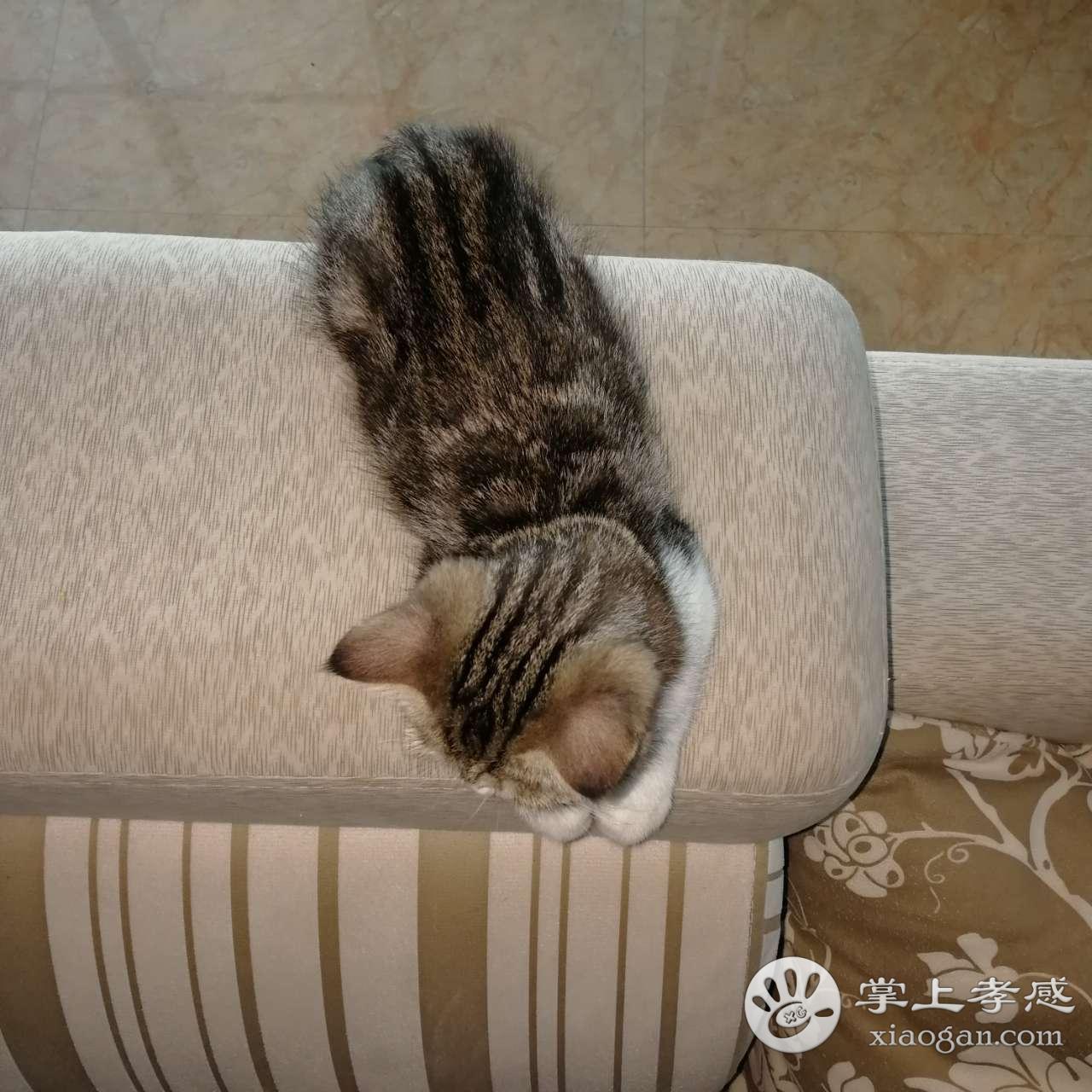 [寻宠启事] 寻一只猫咪 虎斑加菲猫急