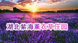 湖北紫海薰衣草庄园