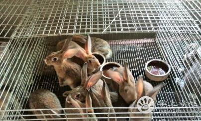 孝感俊茜野兔繁殖基地
