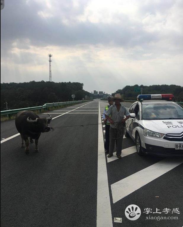 水牛闯入高速路 孝感民警沿线急追消除安全隐患[图1]
