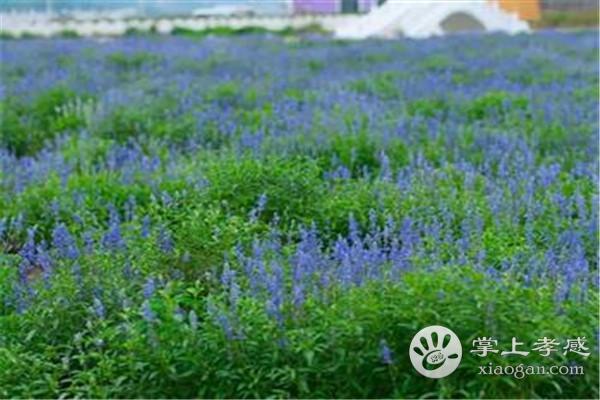 这个8月,来大悟紫海薰衣草庄园,邂逅一场浪漫