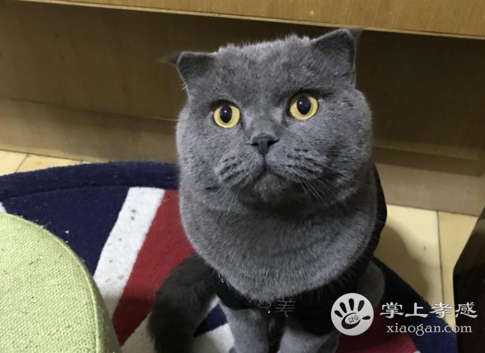 [失寵招領] 城站路老市委大院一只藍貓走失