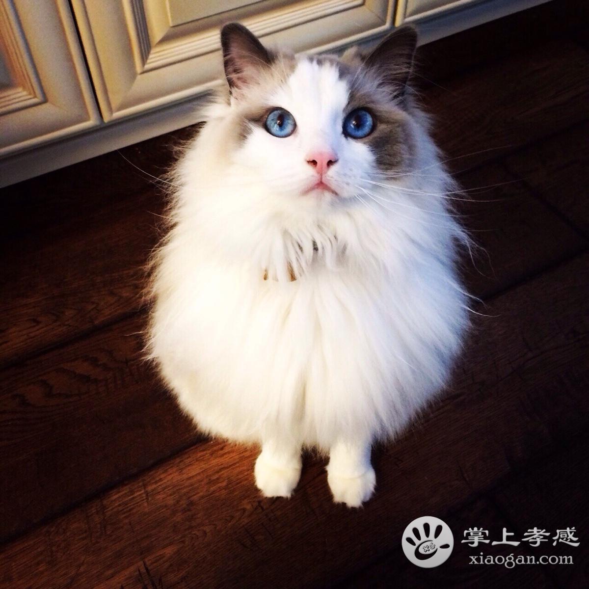 文艺猫舍 各种纯种猫 血统纯正