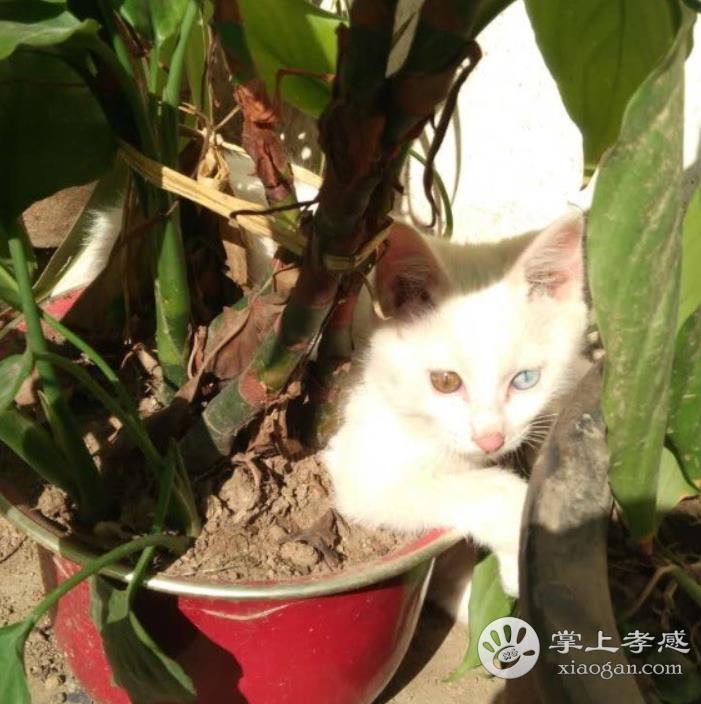 两个月小白猫,求爱心人士领养
