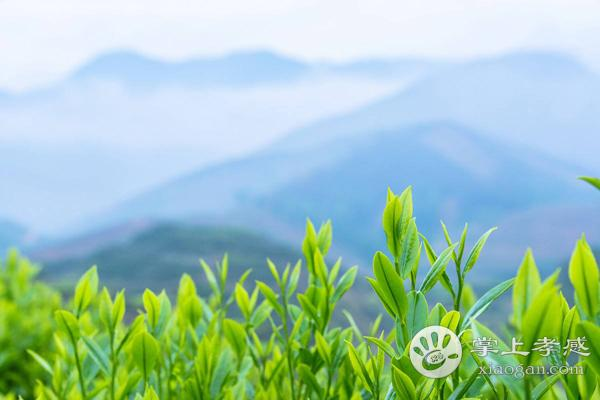 周巷凤凰茶应该怎么挑选?什么样的周巷凤凰茶才是优质的?