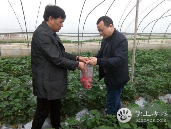 安陆市市农业农村局开展草莓专项抽检活动[图1]