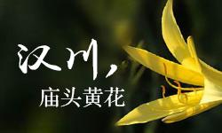 汉川庙头黄花