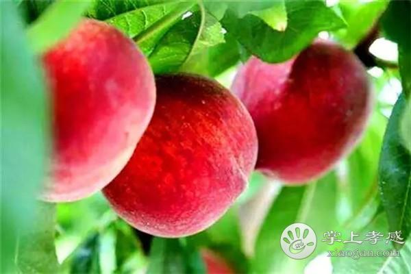 安陆一年四季可以采摘哪些水果?安陆一年四季采摘水果攻略汇总[图4]