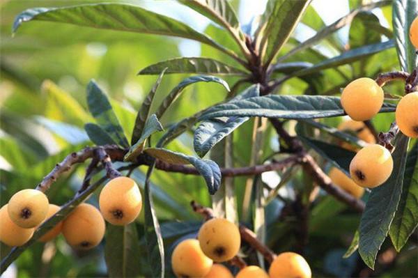云梦景盛农庄可以采摘水果吗?云梦景盛农庄有哪些水果?
