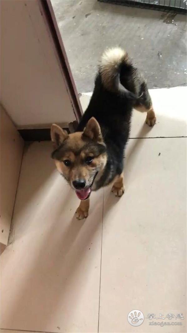 家养柴犬出售 8000元