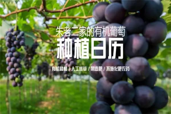 大悟红三坡有机葡萄基地怎么种植的?大悟红三坡有机葡萄基地有机葡萄种植日历揭晓