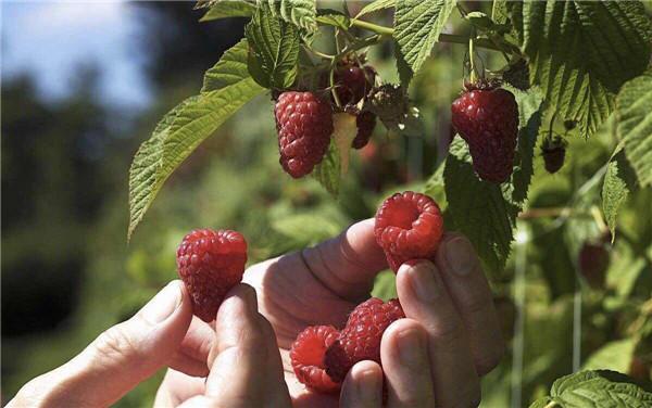 孝昌红树莓庄园好玩吗?孝昌红树莓庄园一日游攻略