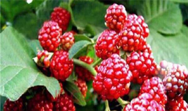 孝昌红树莓庄园有哪些特产?孝昌红树莓庄园特产介绍