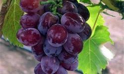 汉川臻品恒园葡萄采摘园有哪些品种的葡萄?汉川臻品恒园葡萄采摘园葡萄品种介绍