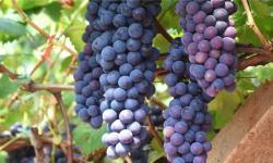 汉川臻品恒园葡萄采摘园葡萄好吃吗?汉川臻品恒园葡萄采摘园葡萄有什么特色?