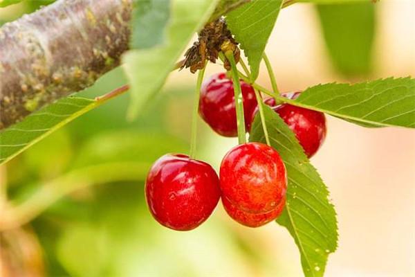 云梦桃花山生态采摘园可以采摘哪些水果?云梦桃花山生态采摘园采摘水果种类介绍