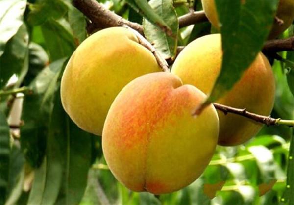 云梦陆春发果园的水果好吃吗?云梦陆春发果园的水果怎么样?