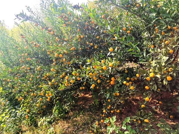 应城龙池山庄果子熟得正正好!周末约起去摘橙子、橘子……