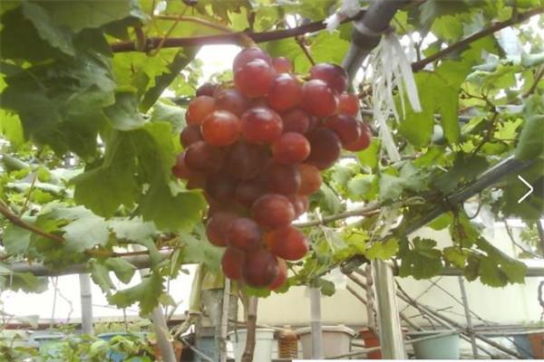 大悟甜心葡萄园可以采摘哪些品种葡萄?大悟甜心葡萄园采摘葡萄品种介绍