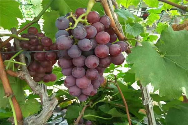 大悟甜心葡萄园的葡萄好吃吗?大悟甜心葡萄园品种好不好?
