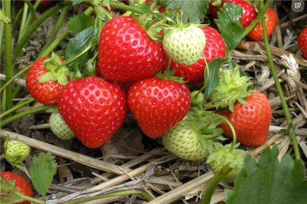 孝感卧龙博乐草莓园草莓怎么选?怎么挑选好吃的草莓?