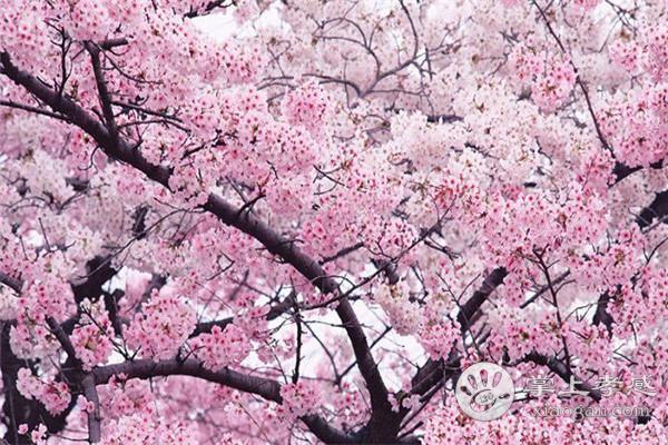 孝感人三月踏青打卡必去之处,这样的花你见过吗?[图3]