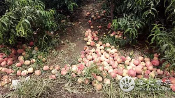 安陆月亮山桃子采摘园桃子怎么样?安陆月亮山桃子采摘园桃子好吃吗?[图3]
