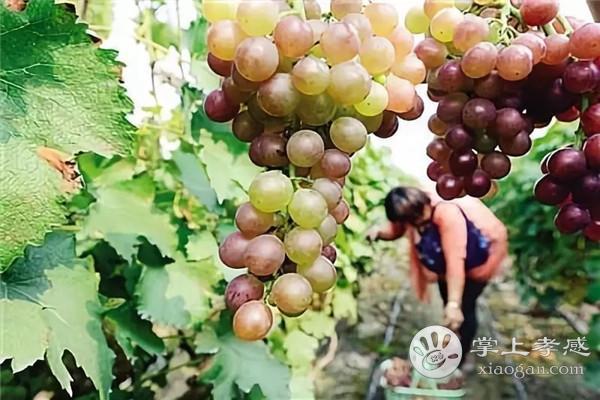 安陆墩塘农家葡萄采摘园是优良品种吗?安陆墩塘农家葡萄采摘园纯绿色种植介绍[图3]