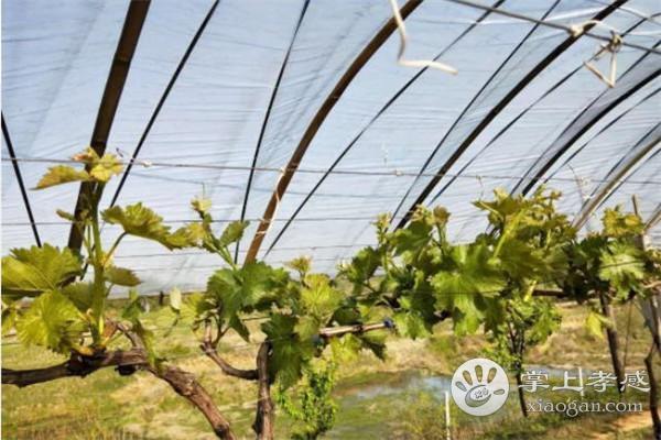 大悟红三坡有机葡萄基地的葡萄什么受欢迎?大悟红三坡有机葡萄基地受欢迎原因分析[图3]
