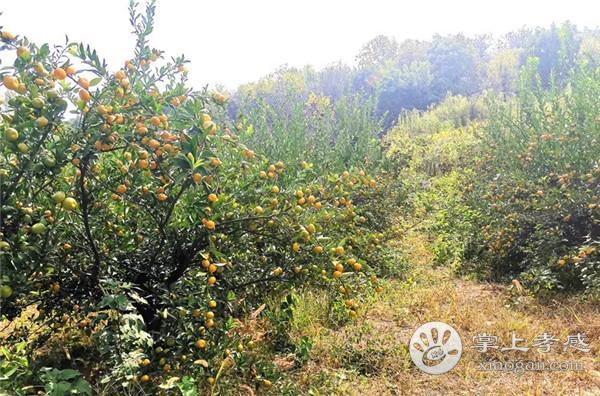 应城龙池山庄果子熟得正正好!周末约起去摘橙子、橘子……[图1]
