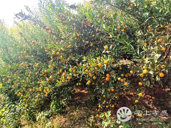 应城龙池山庄果子熟得正正好!周末约起去摘橙子、橘子……[图3]
