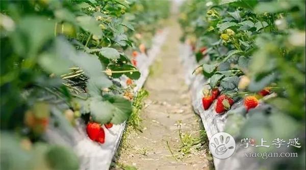 孝感红之峰草莓园位置在哪?孝感红之峰草莓园路线介绍[图1]
