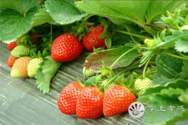 孝昌進鋒草莓園水果怎么樣?孝昌進鋒草莓園水果好吃嗎?[圖3]