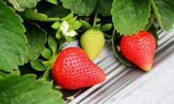 大悟县田湾草莓园采摘需要注意什么?大悟县田湾草莓园采摘注意事项!