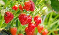 汉川城隍镇柏树村草莓园草莓好吃吗?汉川城隍镇柏树村草莓园草莓怎么样?