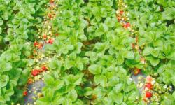 汉川城隍镇柏树村草莓园采摘草莓需要注意哪些问题?汉川城隍镇柏树村草莓园采摘草莓注意事项一览