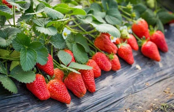 大悟县田湾草莓园
