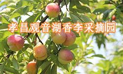 孝昌观音湖香李采摘园