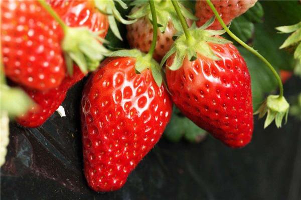 应城董家草莓园适合什么时候采摘?应城董家草莓园最佳采摘时间介绍