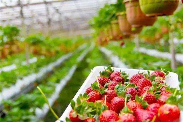 应城董家草莓园草莓怎么保存?应城董家草莓园草莓保存方法介绍