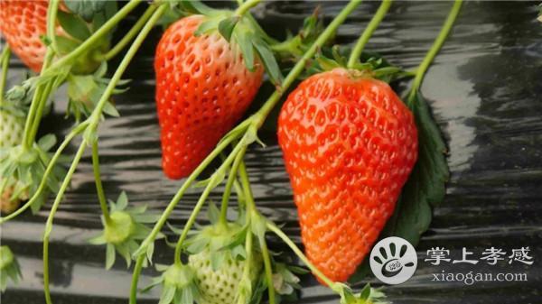 汉川长虹桥草莓园采摘时如何挑选草莓?汉川长虹桥草莓园草莓挑选方法介绍[图2]