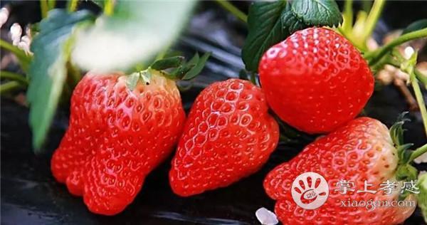 汉川长虹桥草莓园采摘时如何挑选草莓?汉川长虹桥草莓园草莓挑选方法介绍[图1]