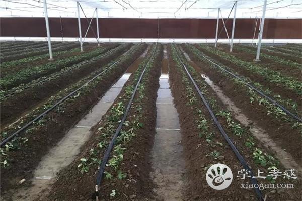 汉川百禾生态园草莓怎么样?百禾草莓园草莓好吃吗?[图2]
