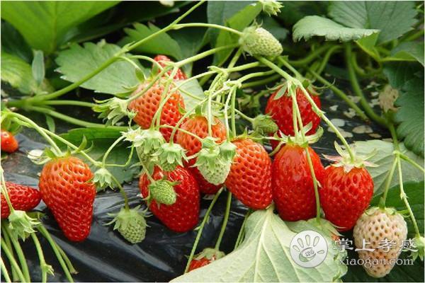 孝感永高农业生态园可以采摘哪些水果?孝感永高农业生态园水果最佳采摘期介绍[图1]