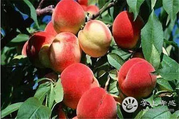 孝感永高农业生态园可以采摘哪些水果?孝感永高农业生态园水果最佳采摘期介绍[图3]